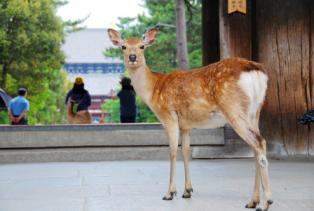 大阪自由行-東大寺-鹿